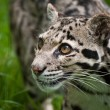Clouded leopard Neofelis Nebulova big cat portrait - Stock Photo