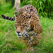 Stunning jaguar Panthera Onca prowling through long grass - Stockfoto