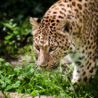 Beautiful leopard Panthera Pardus big cat amongst foliage - Stok fotoğraf