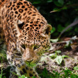 Beautiful leopard Panthera Pardus big cat amongst foliage - Stock Photo