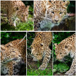 Compilation of five images of Leopard Panthera Pardus big cat - Stock Photo