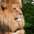 Portrait of King of the Jungle Lion Panthera Leo big cat - Stock Photo