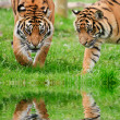 Постер, плакат: Portrait of Sumatran Tigers Panthera Tigris Sumatrae big cat ref