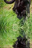 Black jaguar Panthera Onca prowling through long grass reflected — Stock Photo