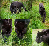 Compilation of five image of Black Jaguar Panthera Onca — Stock Photo