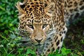 Beautiful leopard Panthera Pardus big cat amongst foliage — Stock Photo