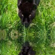 Black jaguar Panthera Onca prowling through long grass reflected - Stock Photo