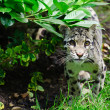 Stock Photo: Clouded leopard Neofelis Nebulovbig cat portrait