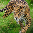 Stunning jaguar PantherOncprowling through long grass — Stock Photo #12025955