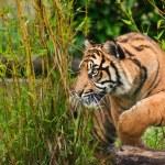 スマトラ島トラ パンテーラ チグリス sumatrae 大きな猫の肖像画 — ストック写真