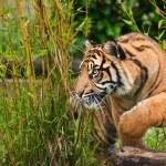 Ritratto di sumatran tiger panthera tigris sumatrae gatto grande — Foto Stock