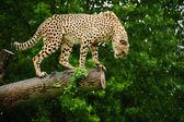 Cheetah Acinonyx Jubatus Big Cat — Stock Photo