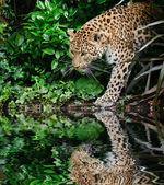 Beautiful leopard Panthera Pardus big cat amongst foliage reflec — Stock Photo