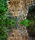Beautiful leopard Panthera Pardus big cat amongst foliage reflec — Stock Photo