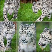 Compilation of five images of Snow Leopard Panthera Uncia big ca — Stock Photo