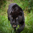 Black jaguar Panthera Onca prowling thorugh long grass — 图库照片