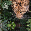 Постер, плакат: Beautiful leopard Panthera Pardus big cat amongst foliage reflec