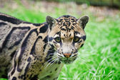 Clouded leopard Neofelis Nebulova big cat portrait — Stock Photo