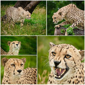 Compilation of images of Cheetah Acinonyx Jubatus big cat — Stock Photo