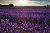 Beautiful lavender field landscape with dramatic sky — Stock Photo
