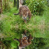 Stunning jaguar Panthera Onca prowling through long grass reflec — Stock Photo