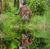 Stunning jaguar Panthera Onca prowling through long grass reflec — Stock Photo