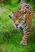 Stunning jaguar Panthera Onca prowling through long grass — Stock Photo