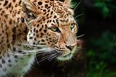 Mooie luipaard panthera pardus grote kat onder gebladerte — Stockfoto