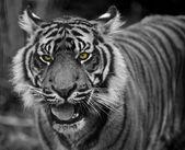 Portrait of Sumatran Tiger Panthera Tigris Sumatrae big cat — Stock Photo