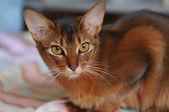 Ruddy somali cat portrait — Stock Photo