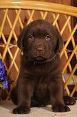 Portrait of labrador puppy brown color — Stock Photo