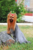 Yorkshire terrier on the stone portrait — Stock Photo