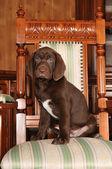 可爱的棕色小狗画像 — 图库照片