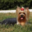 Yorkshire terrier portrait on the grass — Stock Photo