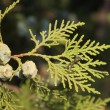Stock Photo: Evergreen 3