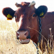 Stock Photo: Red cow 4