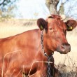 Stock Photo: Red cow 3