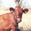 Stock Photo: Red cow 2