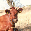 Stock Photo: Red cow