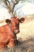 Red cow — Stock Photo