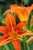 Closeup von tiger lily flower — Stockfoto