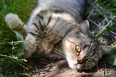 Pretty Cat or Kitten Lying in Grass — Stock Photo