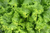Fresh Green Lettuce or Salad Leaves — Stock Photo