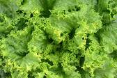 Verse groene sla of salade bladeren — Stockfoto