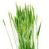 Wheat grass - Elytrígia. — Stock Photo
