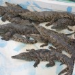 Crocodile farm — Stock Photo