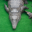 Crocodile — Stock Photo #11843487
