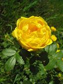 Yellow dog-rose flower — Stock Photo