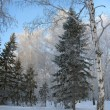 Winter forest. Frosty trees — Stock Photo
