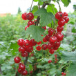 Bunch of red currant on a twig — Stock Photo